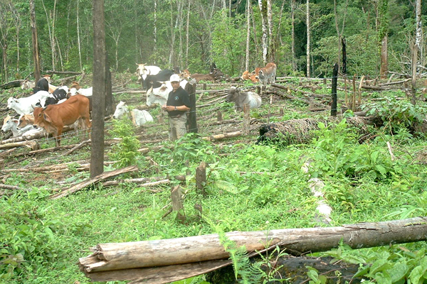 Cattle in Nicaragua's Bosawás Biosphere Reserve. Invading land speculators and peasants have destroyed 150,000 hectares (370,000 acres) of rainforest in the reserve, according to the Mayangna and Miskito indigenous peoples who call this forest home. Photo: Independent Mayangna Nation of Nicaragua