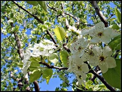 bradford pear tree 8