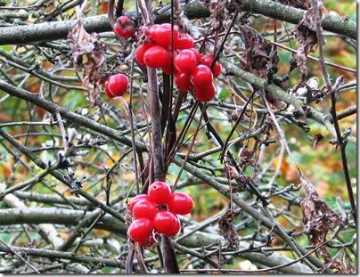 20111107  (14) Metre Tamus communis fruit