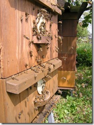 Rojení  a velikost včelstva 014