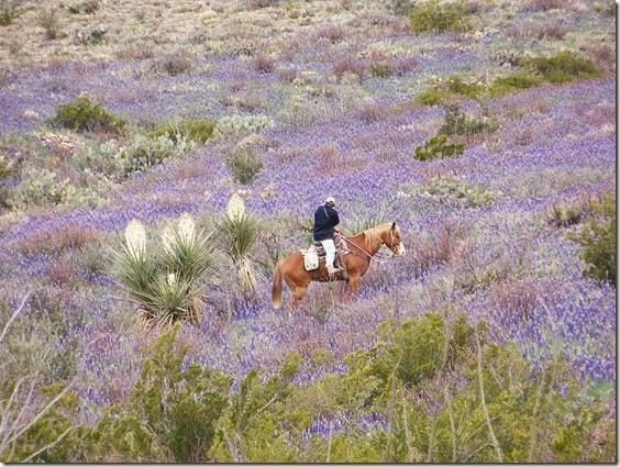 big bend bluebonnets