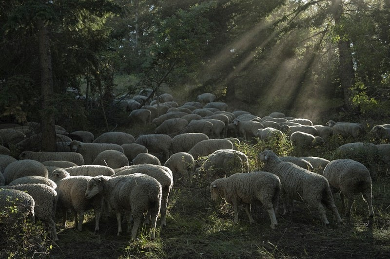 trailing-of-the-sheep-3