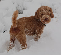 Red Labradoodle Sire Bodi