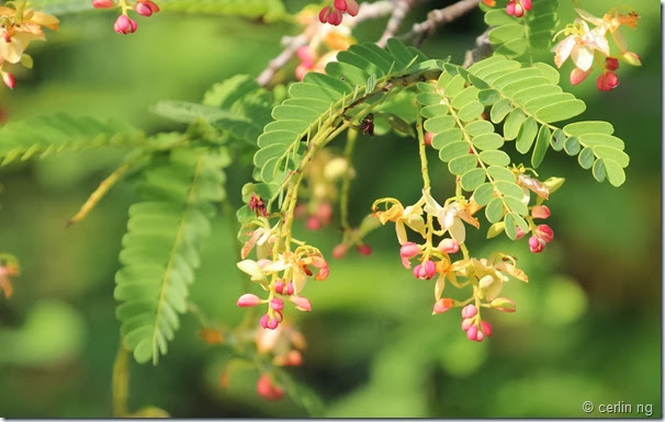 tamarindus indicus flowers