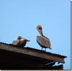 Love Pelicans!