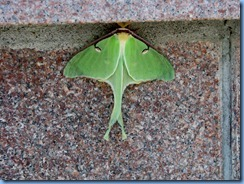 7989 Ontario Trans-Canada Highway 17 (TC-11) Thunder Bay - Terry Fox Scenic Lookout - rare sighting of a Luna Moth