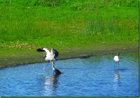 strutting stork