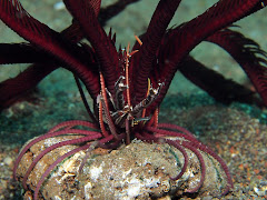 Crab on feather star