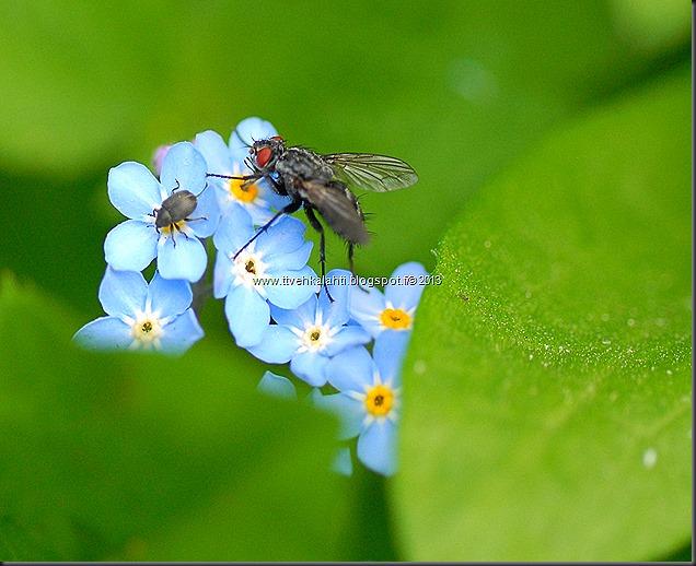 pikkutukkikärsäkkäästä (Hylobius pinastri)  muita hyönteisä 096