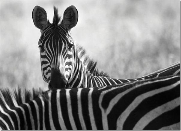 Fotos preto e branco de animais selvagens (6)