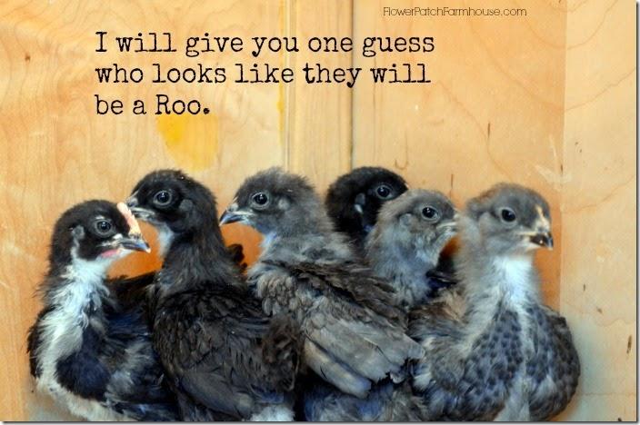 chicks march 14700