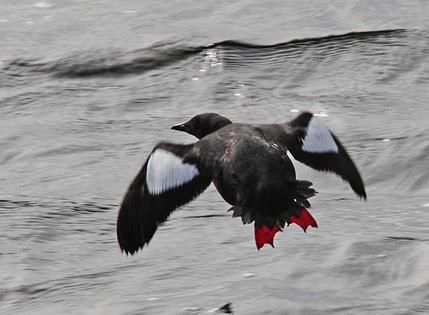 Amazing Pictures of Animals, Photo, Nature, Incredibel, Funny, Zoo, Guillemots, seabird, Bird, Alex (4)