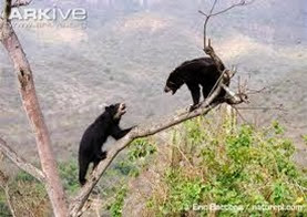 Amazing Pictures of Animals, Photo, Nature, Incredibel, Funny, Zoo, Spectacled bear, Tremarctos ornatus, Mammals, Alex (5)