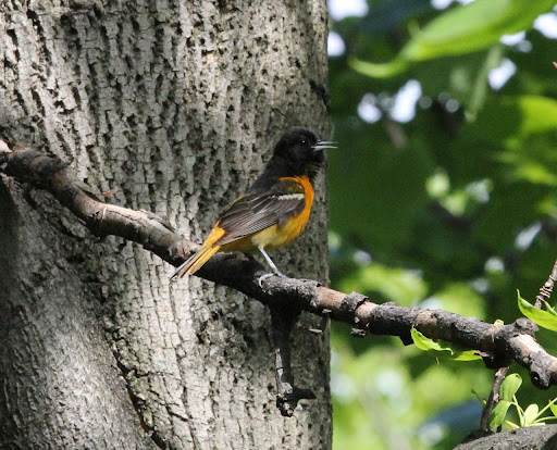 Baltimore Oriole, 5/6, Flat Rock Brook Nature Center in Englewood, NJ