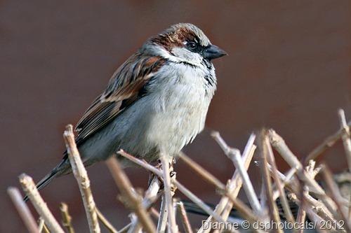 IMG_3146 Sparrow 2