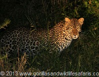 Leopard sigted frequently in lake Mburo National Park