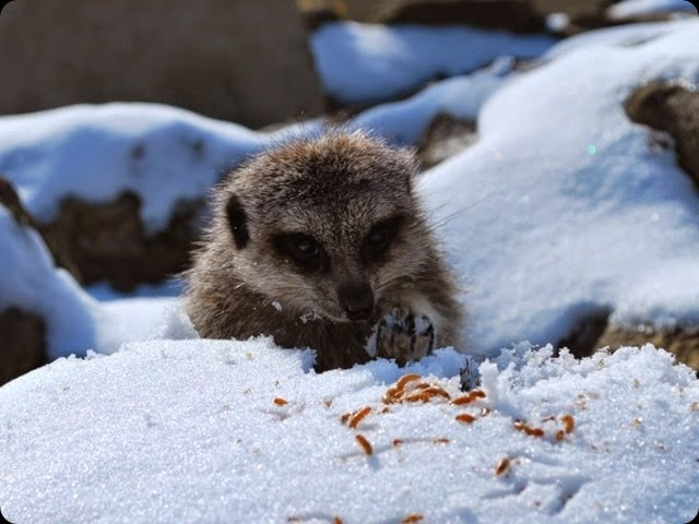 Meerkat in the snow eating mealworms