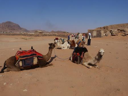 Imagini Wadi Rum: Camile la asteptare