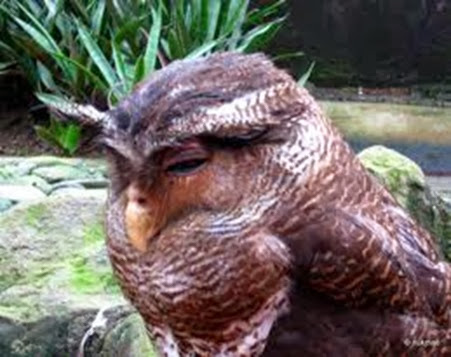 Amazing Pictures of Animals, Photo, Nature, Incredibel, Funny, Zoo, Barred Eagel-Owl, Bubo sumatranus, Bird, Alex (8)