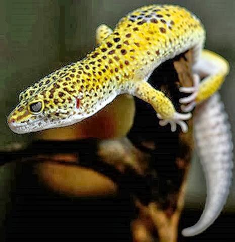 Amazing Pictures of Animals, Photo, Nature, Incredibel, Funny, Zoo, Eublepharis macularius, Leopard gecko, Alex (3)