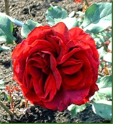 Rosa Roundelay