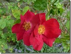 kailzie red roses