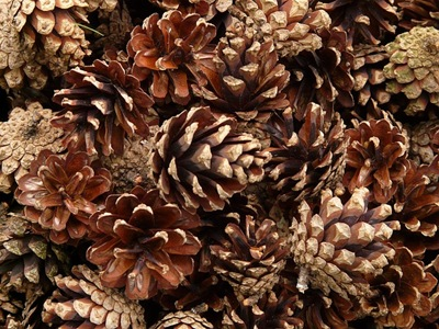 pine-cones-8165_640
