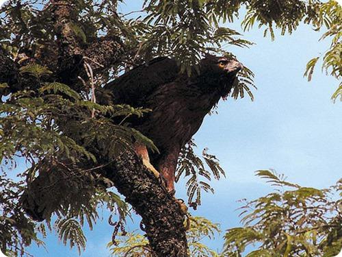 black-and-chesnut_eagle