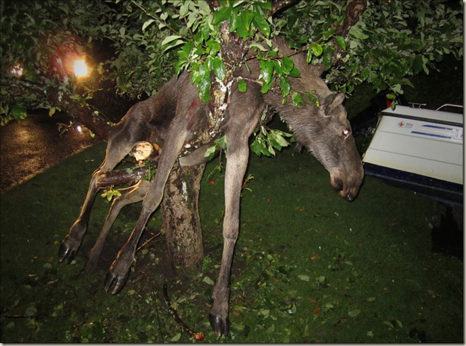 Drunk Moose In Tree