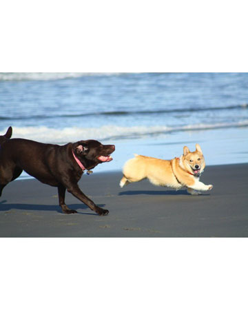 Echo, a corgi from Puyallup, Washington, and his Labrador buddy love to play on the beach. A starfish would likely look like a squeaky toy to pooches, so it's best to intervene and throw the starfish back to safety in the ocean.