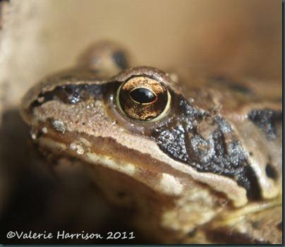 9 frog-eye