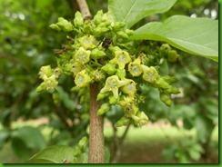 Vangueria madascariensis (2)