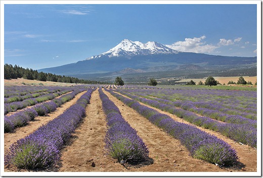 110710_Mt_Shasta_Lavender_Farm_113