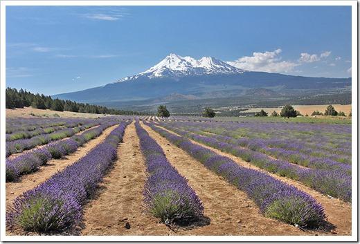 110710_Mt_Shasta_Lavender_Farm_113