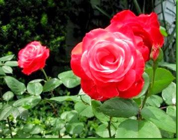 Rosa Milestone