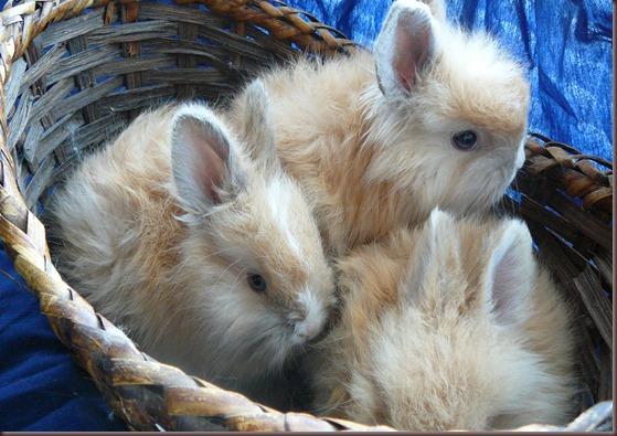 Amazing Animal Pictures Angora Rabbit (4)