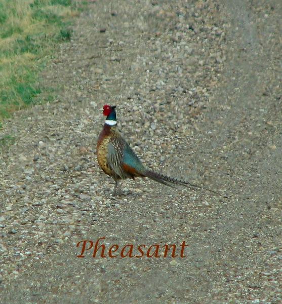 01 pheasant