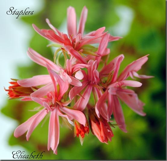 Pelargonium juni-11 072