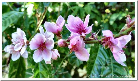 Blossomsp1020107
