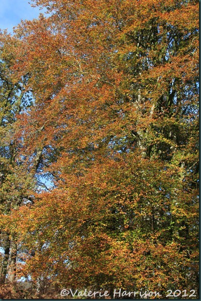 15-autumn-beech