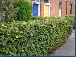 Beech_hedge