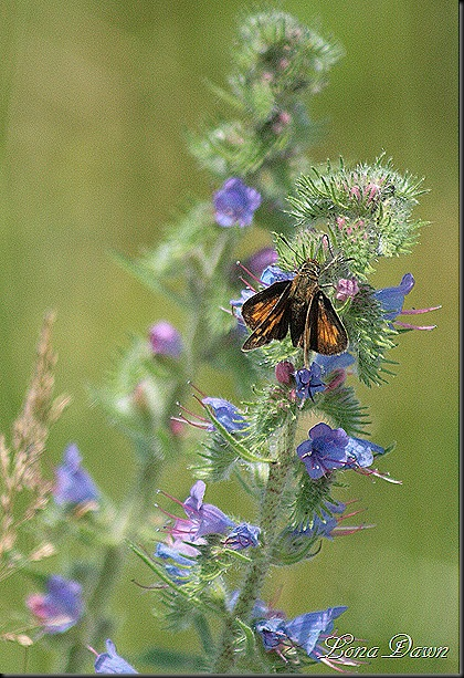 S_BlueLobelia_Butterfly2