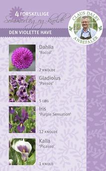 løg_violette