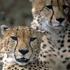 Geparden © Foto: &Beyond
