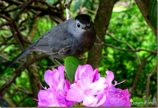 catbird_011