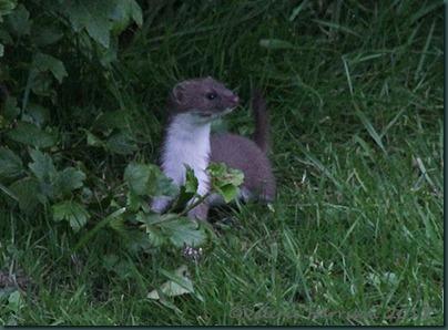 weasel-1