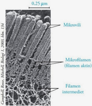 struktur mikrofilamen