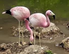 Amazing Pictures of Animals, Photo, Nature, Incredibel, Funny, Zoo, Flamingos or Flamingoes, Phoenicopteridae,  Aves, Bird, Alex (16)