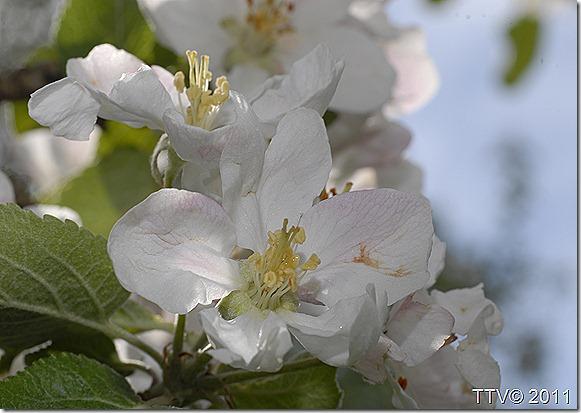 omenan kukkia mustarastas 008