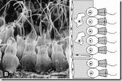 koanosit porifera